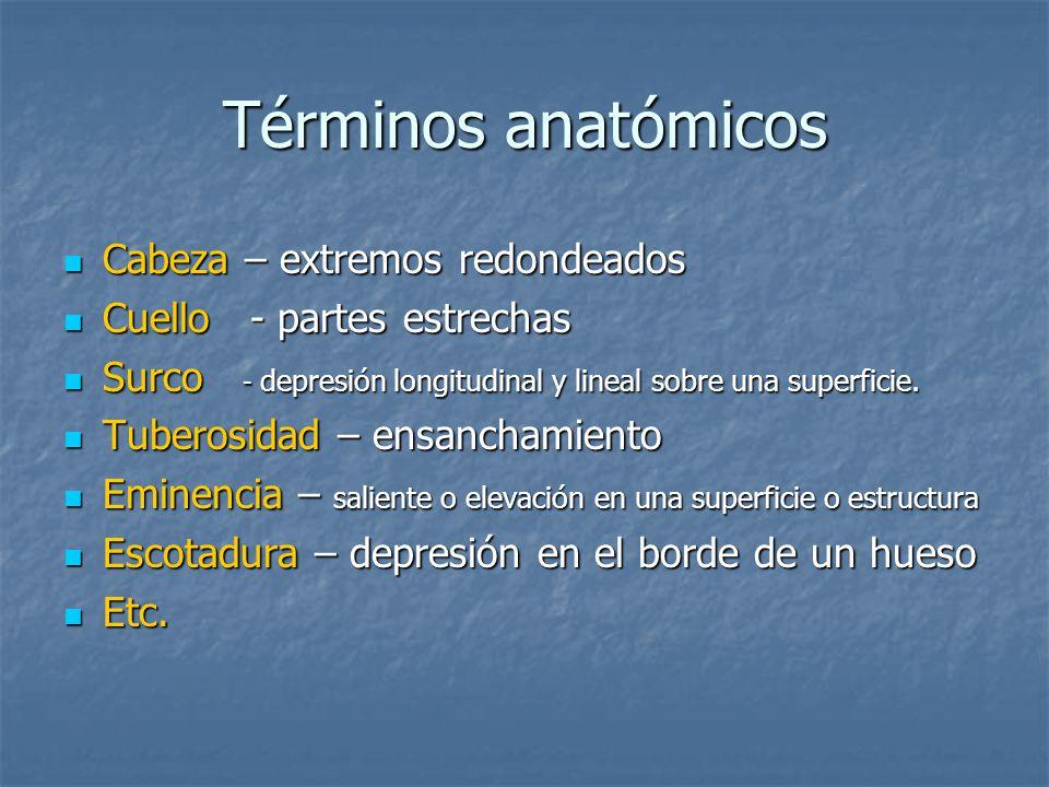 Términos anatómicos Cabeza – extremos redondeados