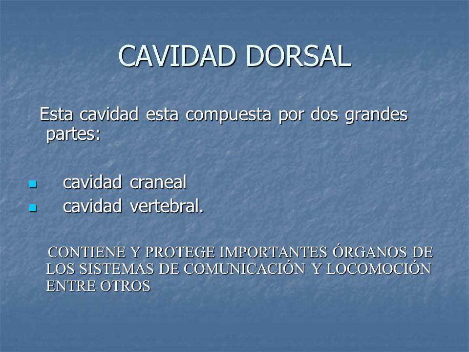 CAVIDAD DORSAL Esta cavidad esta compuesta por dos grandes partes:
