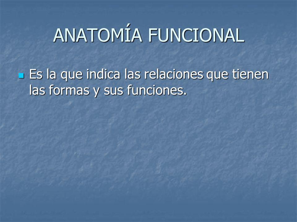 ANATOMÍA FUNCIONAL Es la que indica las relaciones que tienen las formas y sus funciones.