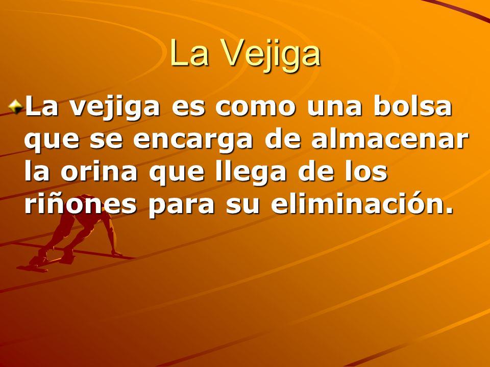 La Vejiga La vejiga es como una bolsa que se encarga de almacenar la orina que llega de los riñones para su eliminación.