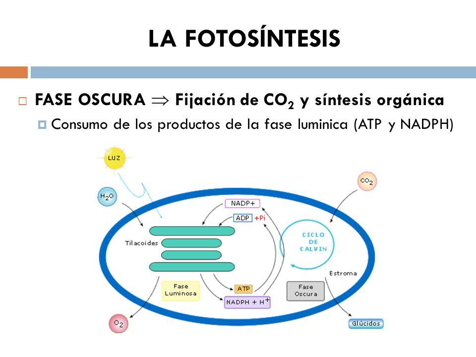 Fases de la fotosintesis wikipedia 46