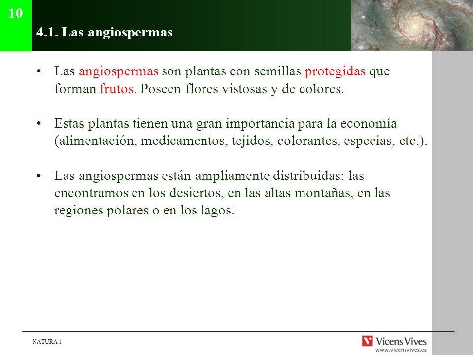 104.1. Las angiospermas. Las angiospermas son plantas con semillas protegidas que forman frutos. Poseen flores vistosas y de colores.