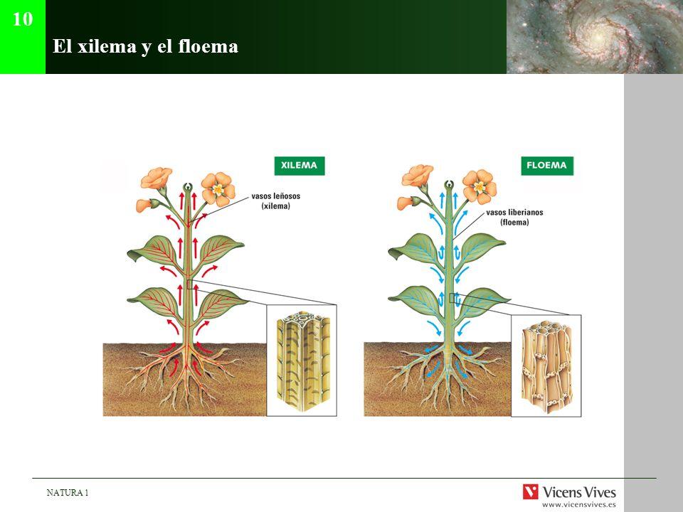 10 El xilema y el floema