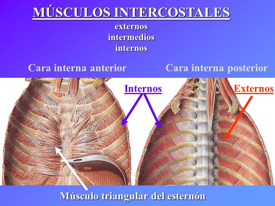 Dorable Musculos Intercostales Bandera - Anatomía de Las Imágenesdel ...