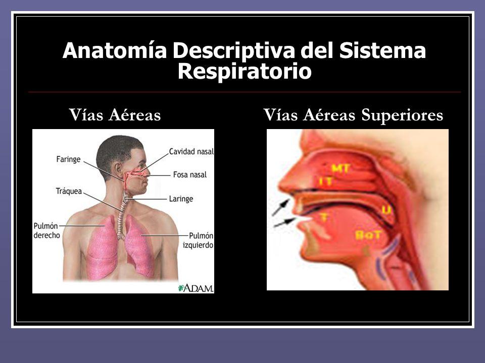 Increíble Anatomía Aplicada De Laringe Colección de Imágenes ...
