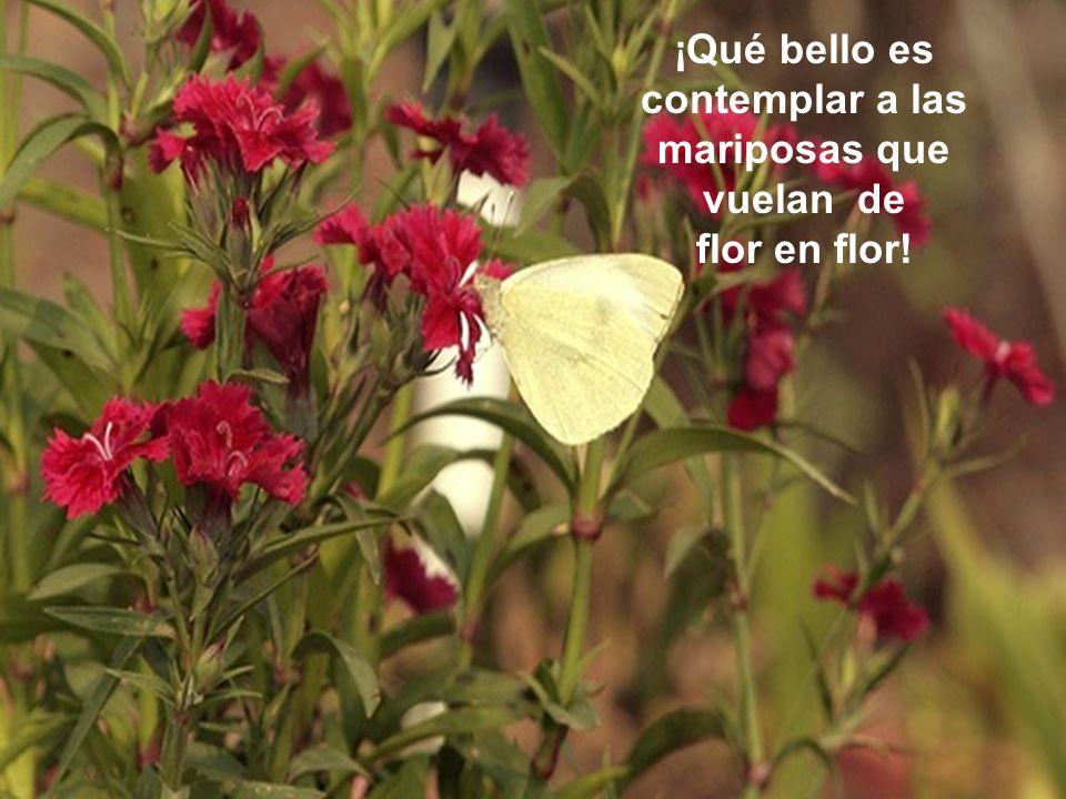 ¡Qué bello es contemplar a las mariposas que vuelan de flor en flor!