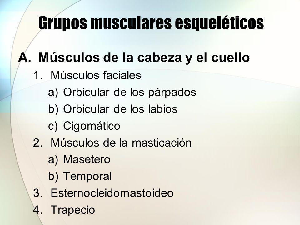 Grupos musculares esqueléticos