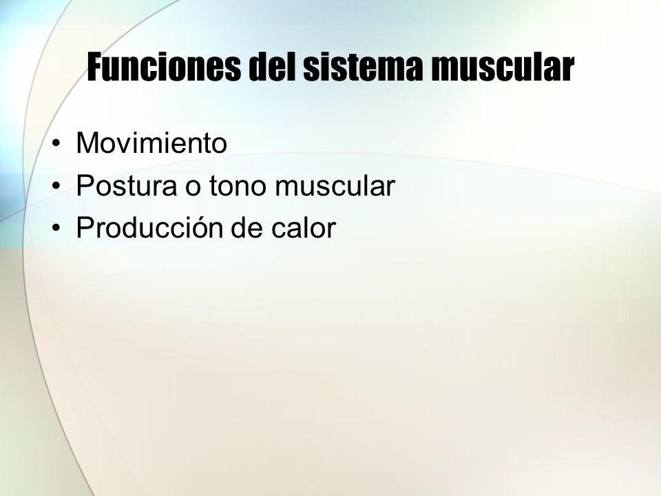Funciones del sistema muscular