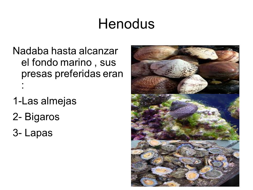 Henodus Nadaba hasta alcanzar el fondo marino , sus presas preferidas eran : 1-Las almejas. 2- Bigaros.