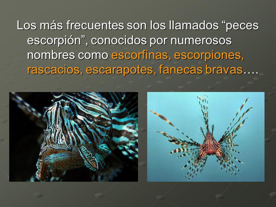 Los más frecuentes son los llamados peces escorpión , conocidos por numerosos nombres como escorfinas, escorpiones, rascacios, escarapotes, fanecas bravas….