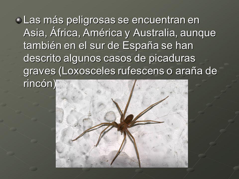 Las más peligrosas se encuentran en Asia, África, América y Australia, aunque también en el sur de España se han descrito algunos casos de picaduras graves (Loxosceles rufescens o araña de rincón)