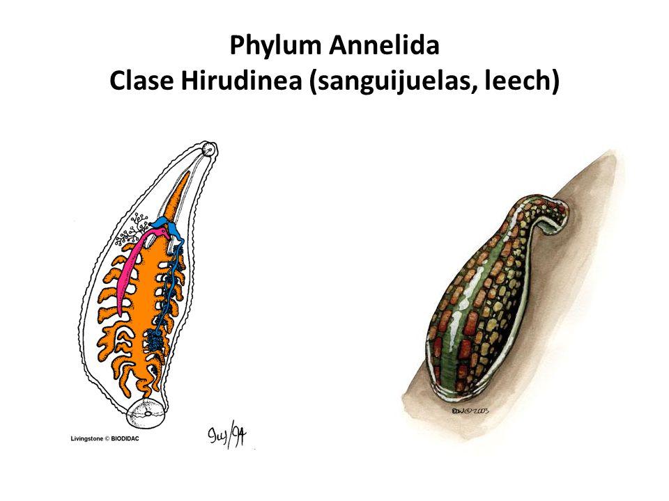 Phylum Annelida Gusanos segmentados. - ppt video online ...