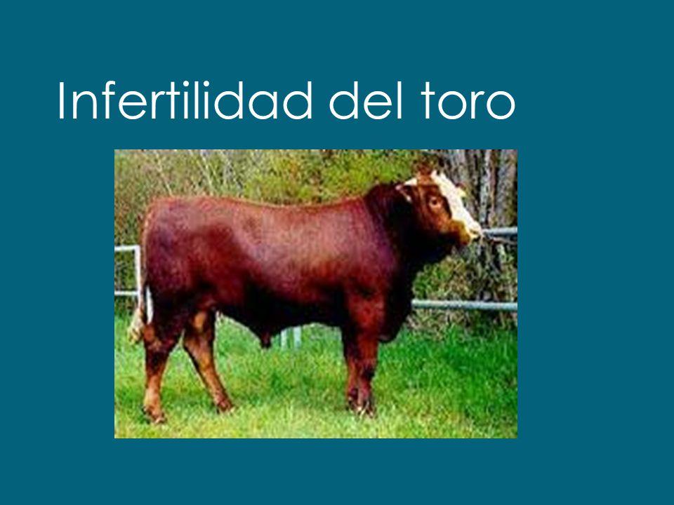 Infertilidad del toro