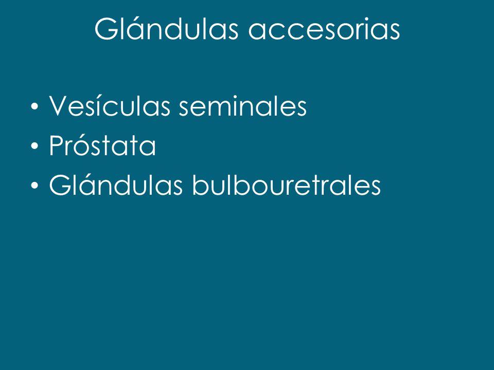 Glándulas accesorias Vesículas seminales Próstata