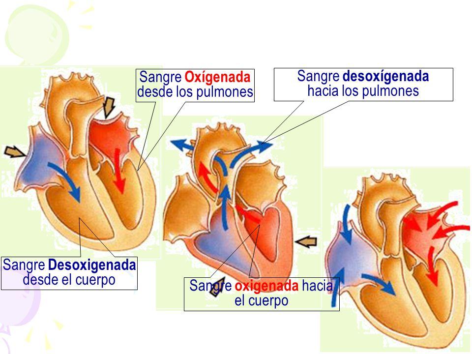 Sangre Oxígenada desde los pulmones