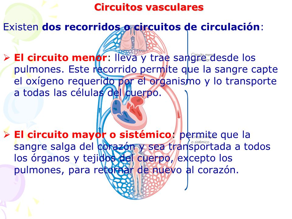 Circuitos vasculares Existen dos recorridos o circuitos de circulación: