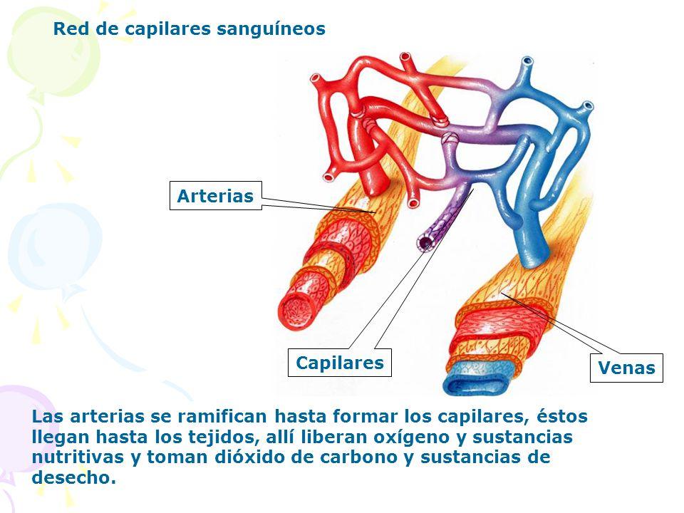 Red de capilares sanguíneos