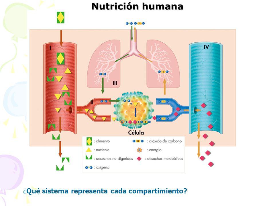 Nutrición humana ¿Qué sistema representa cada compartimiento