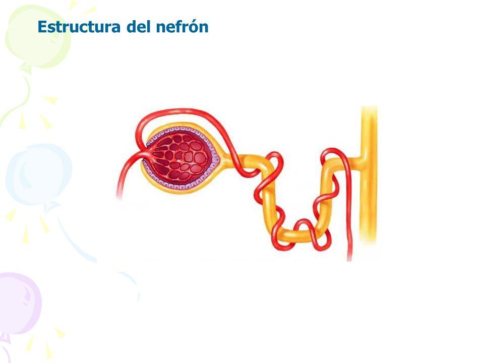 Estructura del nefrón