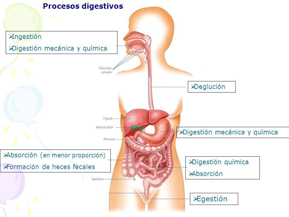 Procesos digestivos Egestión Ingestión Digestión mecánica y química
