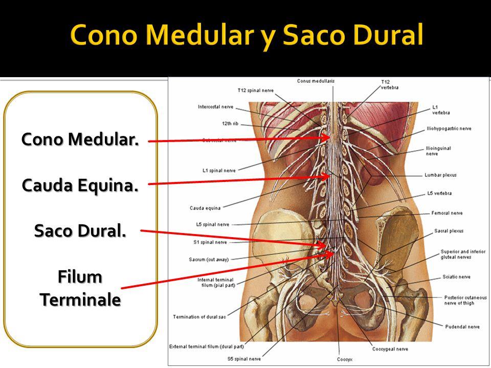 Lujo Anatomía Saco Dural Bandera - Imágenes de Anatomía Humana ...