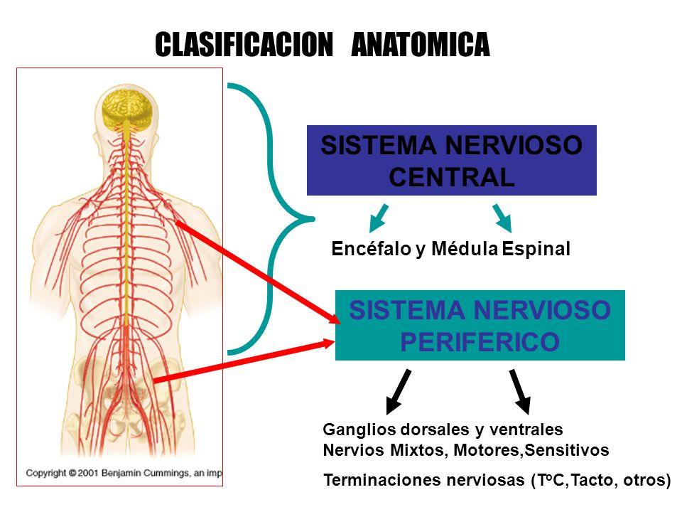 Asombroso Sistema Central De La Anatomía Y Fisiología Nerviosas ...