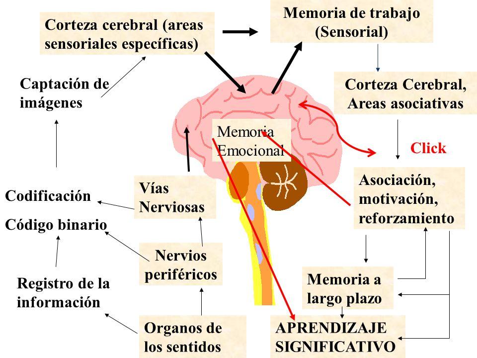 Dorable La Anatomía De La Memoria Friso - Anatomía de Las ...