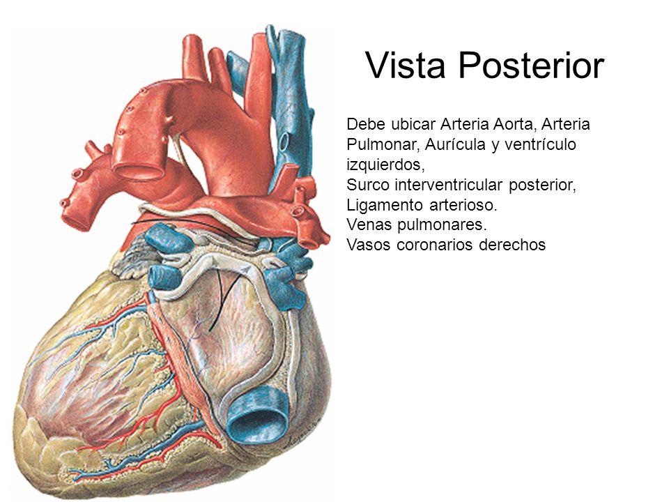 Magnífico Anatomía Vista Trasera Galería - Imágenes de Anatomía ...