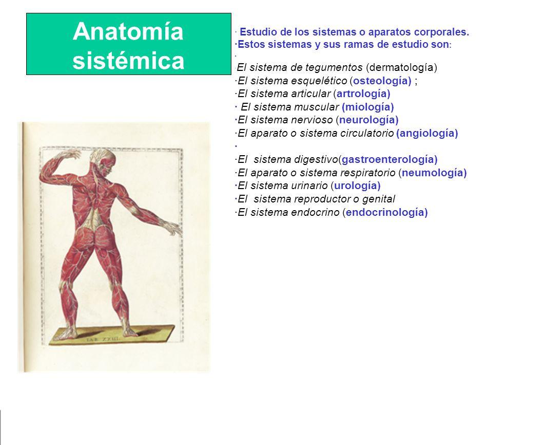 Magnífico Anatomía Macroscópica Del Ejercicio Sistema Muscular 15 ...