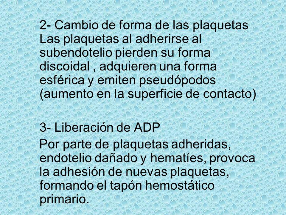 2- Cambio de forma de las plaquetas Las plaquetas al adherirse al subendotelio pierden su forma discoidal , adquieren una forma esférica y emiten pseudópodos (aumento en la superficie de contacto)
