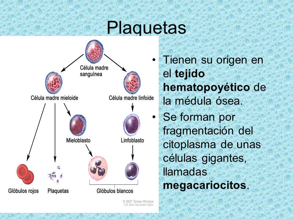 Plaquetas Tienen su origen en el tejido hematopoyético de la médula ósea.