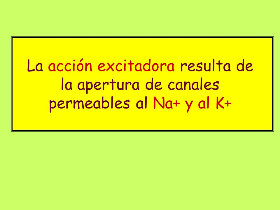 La acción excitadora resulta de la apertura de canales permeables al Na+ y al K+