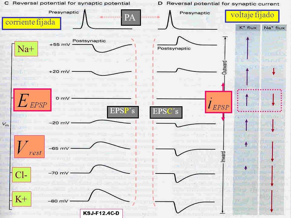 PA Na+ Cl- K+ voltaje fijado corriente fijada EPSP´s EPSC´s