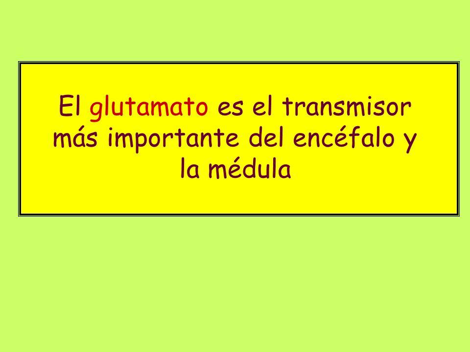 El glutamato es el transmisor más importante del encéfalo y la médula