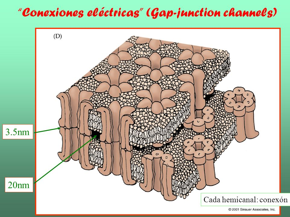 Conexiones eléctricas (Gap-junction channels)