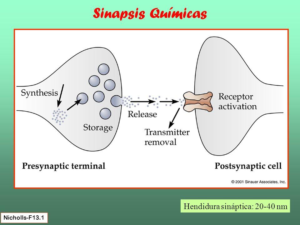 Sinapsis Químicas Hendidura sináptica: 20-40 nm Nicholls-F13.1