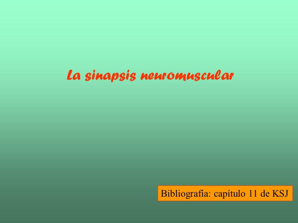 La sinapsis neuromuscular