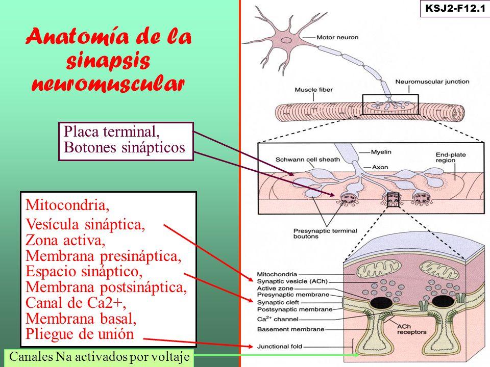 Anatomía de la sinapsis neuromuscular