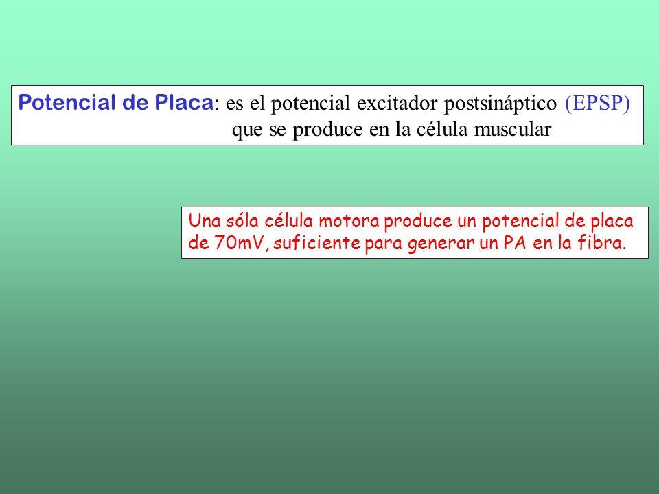 Potencial de Placa: es el potencial excitador postsináptico (EPSP)