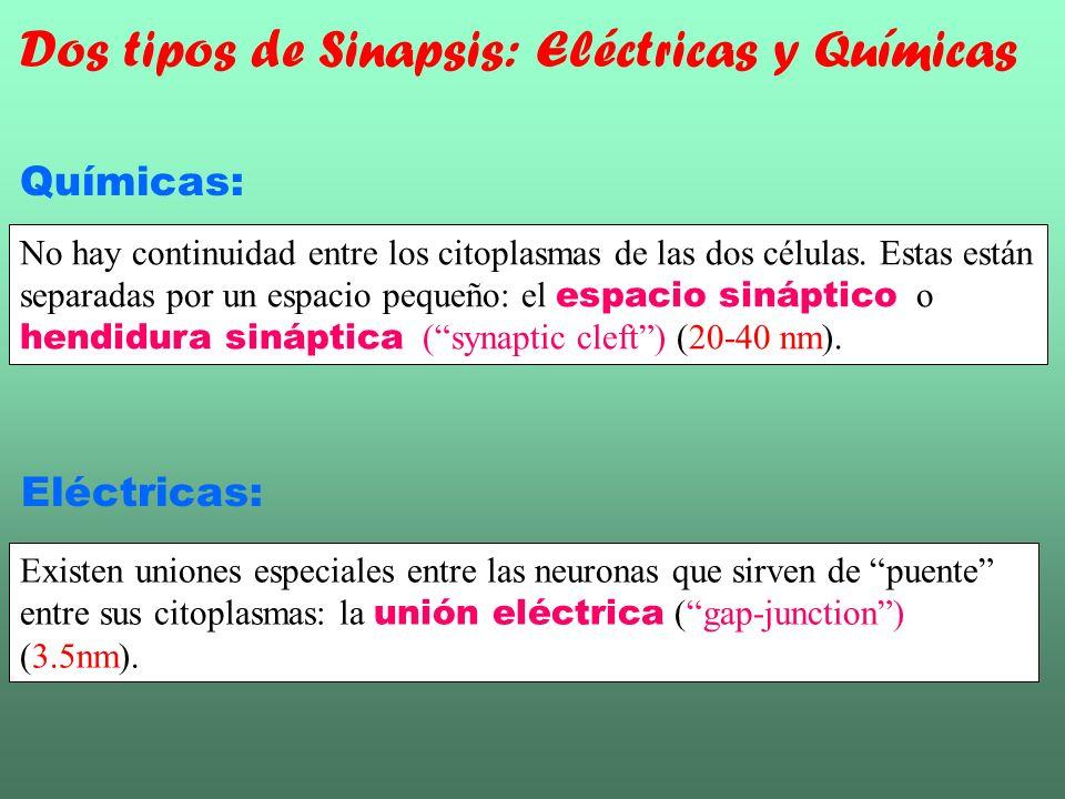 Dos tipos de Sinapsis: Eléctricas y Químicas