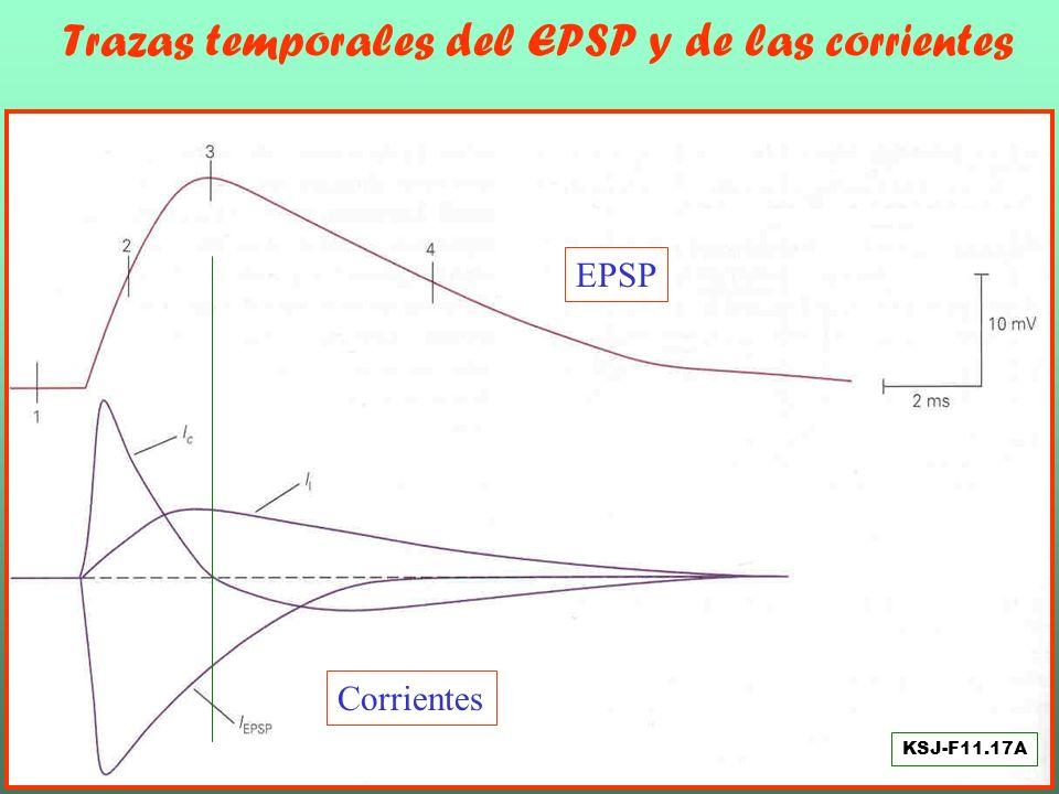 Trazas temporales del EPSP y de las corrientes