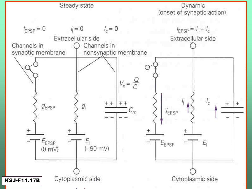 Estado inicial del circuito y Apertura del canal sináptico