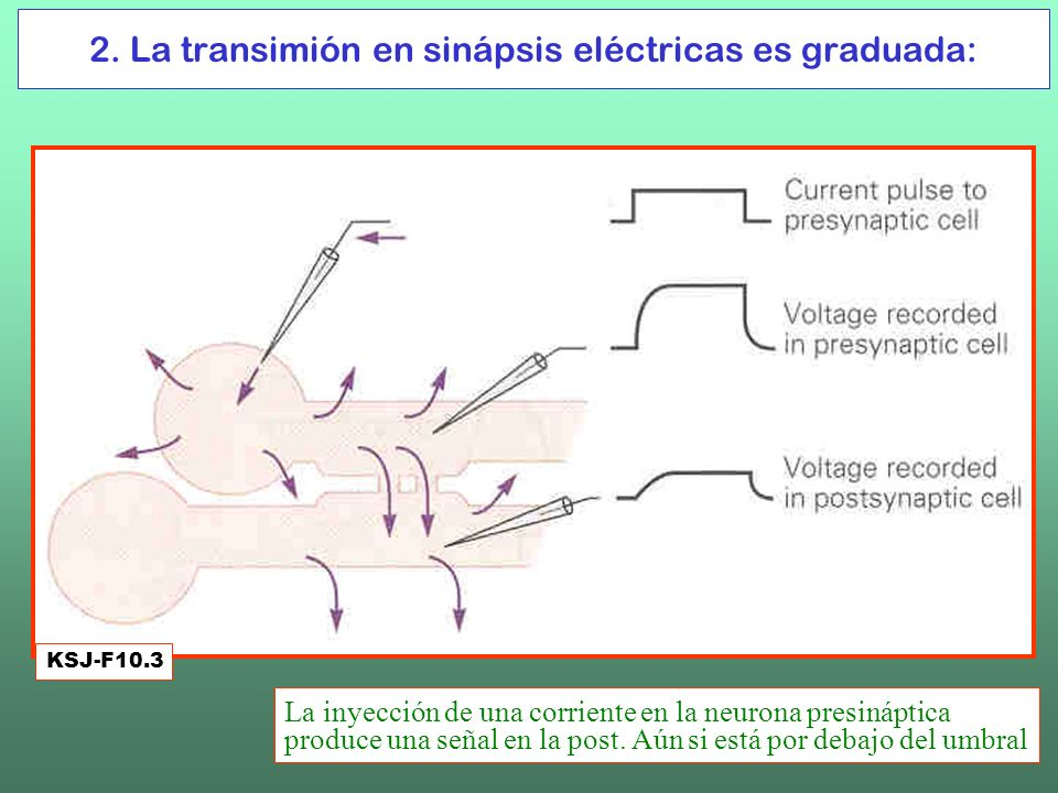 2. La transimión en sinápsis eléctricas es graduada: