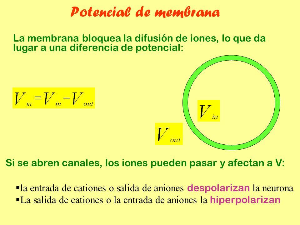 Potencial de membrana La membrana bloquea la difusión de iones, lo que da lugar a una diferencia de potencial: