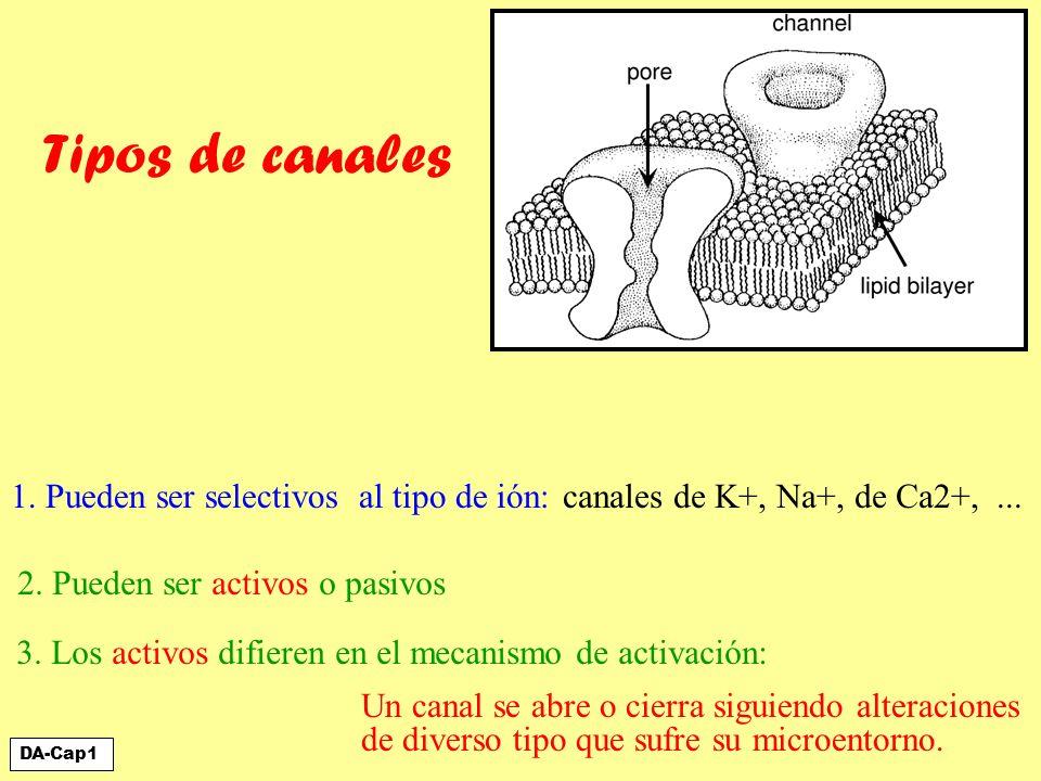 Tipos de canales 1. Pueden ser selectivos al tipo de ión:
