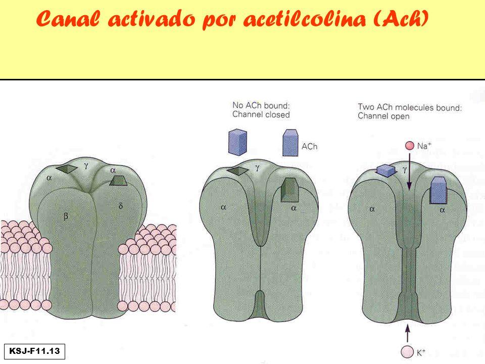 Canal activado por acetilcolina (Ach)