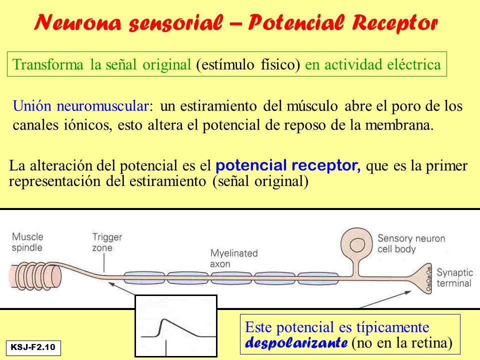 Neurona sensorial – Potencial Receptor