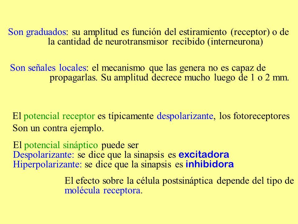 Son graduados: su amplitud es función del estiramiento (receptor) o de