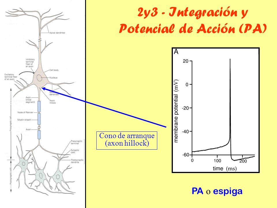 2y3 - Integración y Potencial de Acción (PA)