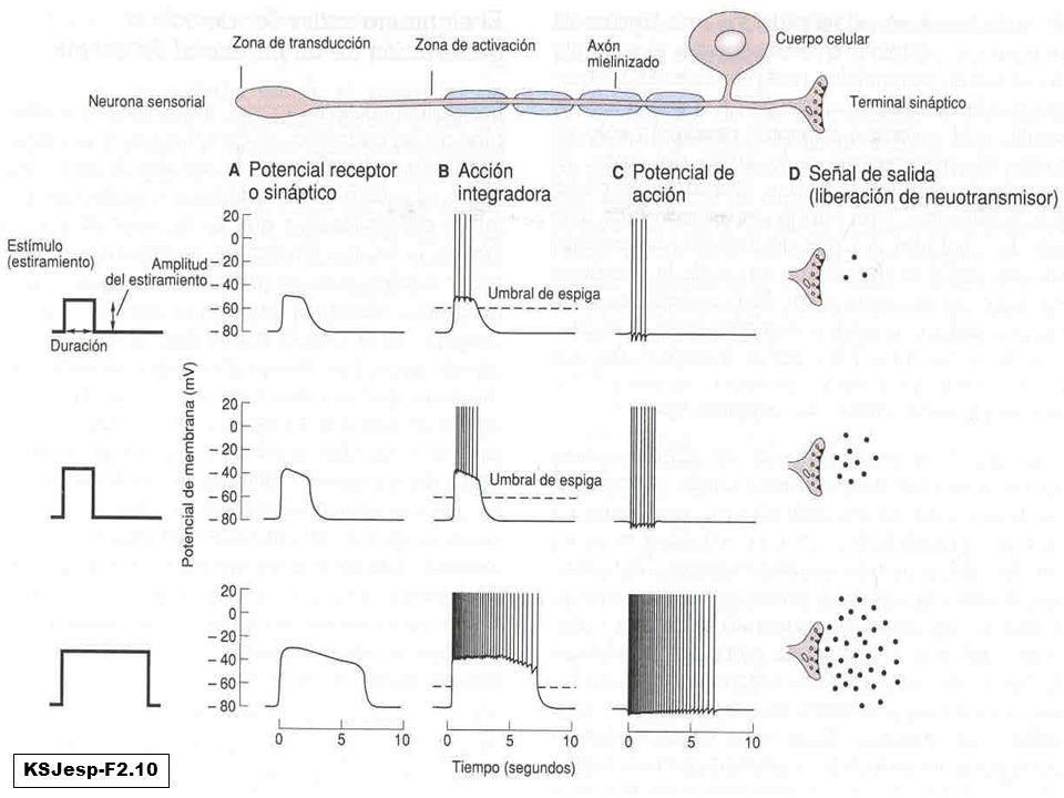 Ejemplo de las 4 funciones: neurona sensorial